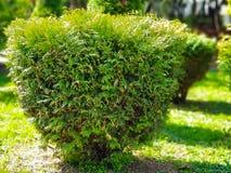 Small evergreen bush in a garden on a sunny day royalty free stock photos