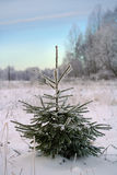 Small evergreen christmas tree Royalty Free Stock Photography