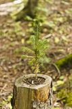 Small evergreen seedling in hollow stump. A small evergreen seedling growing from an old rotten stump stock photo