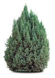 Small Evergreen Tree On White Royalty Free Stock Images