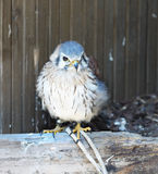 Small Falcon, Bird Royalty Free Stock Photos