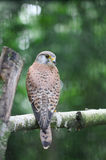 A small falcon sitting on the bough of the tree Royalty Free Stock Images