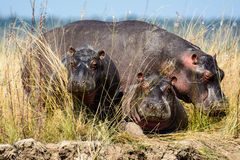 A small family group of Hippos on the banks of the chobe river Royalty Free Stock Image