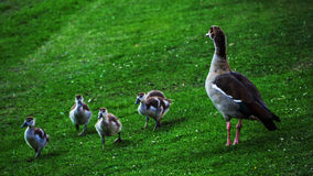 Small family of wild ducks Royalty Free Stock Photography