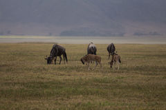 A small family of wildebeests grazing Stock Image
