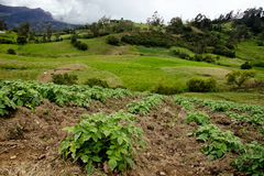 Small farm at Colombia. Lines planted with potato crops on a small farm near Bogota, Colombia Royalty Free Stock Photography