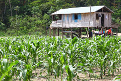 Small farm on river island of Amazon, Brazil Stock Photography