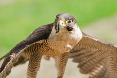 Small but fast predator bird falcon or hawk. Small but fast predator wild bird falcon or hawk with spread wings close up shot Royalty Free Stock Photos