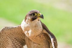 Small and fastest raptor bird peregrine or accipiter Royalty Free Stock Photo