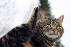 Small fat cat lifts her hind-tail in the air Stock Images