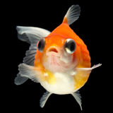 Small Fat Fish Stock Images
