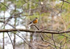 Small fat robini redbreast perched absolutely still on a tree br. Anch, other tree limbs moving in spring breeze Stock Image