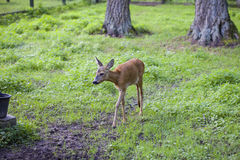 Small fawn goes Path in, Bialowieza National Park. Small fawn goes Path in Bialowieza National Park Royalty Free Stock Photography