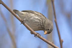 Small Female Ground Finch Stock Image