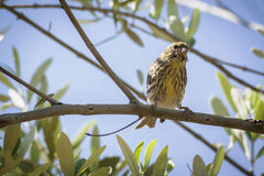 Small female sparrow sitting and singing on a branch Stock Image
