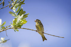 Small female sparrow sitting and singing on a branch Royalty Free Stock Photography