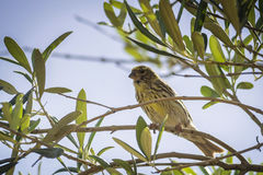 Small female sparrow sitting and singing on a branch Stock Photo