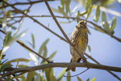 Small female sparrow sitting and singing on a branch Royalty Free Stock Images