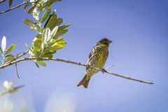 Small female sparrow sitting and singing on a branch Royalty Free Stock Photo