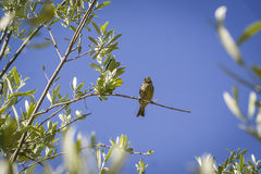 Small female sparrow sitting and singing on a branch in an olive Royalty Free Stock Photos