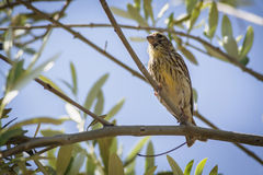 Small female sparrow sitting and singing on a branch in an olive Stock Image