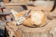 Small fennec is sleeping on the tree Stock Photo