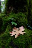 Small fern and brown leaf on a mossy stump in the forest. In the woods stock images