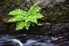 Small fern Stock Photography