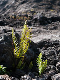 Small Fern growing in Lava field Royalty Free Stock Photo