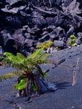 Small Fern growing in Lava field Stock Photo