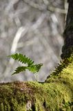 Small  fern growing on a tree covered in moss. Stock Images