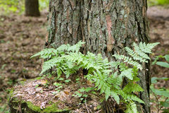 Small fern growing up on pine stump Stock Images