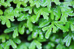 Small fern leaves Royalty Free Stock Photography