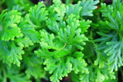 Small fern leaves texture. Top view of Selaginella tamariscina (P. Beauv.) Spring Royalty Free Stock Image