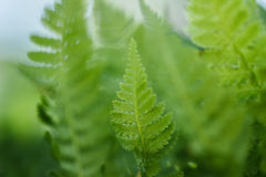 Small fern. Standing out from a blurred green background Stock Photos