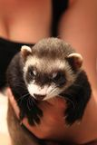 Small ferret in the human hands Stock Image