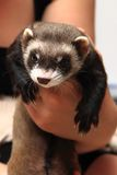 Small ferret in the human hands Royalty Free Stock Images
