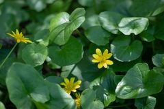 Many small yellow flowers in the forest, spring forest flowers on the background of green leaves stock photo