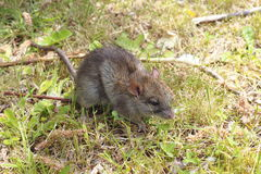 A small field mouse Royalty Free Stock Image