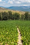 Field path through a tobacco field, Vezirkoeprue, Turkey, Asia stock images