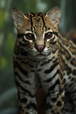 Small But Fierce. Closeup of an Ocelot against a blurred background Royalty Free Stock Photos