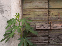 Small fig tree in front of dilapidated door. Green leaves of fig tree and decaying bolted door in the background Stock Photography
