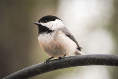 Small finch. A small finch perched on a pole Royalty Free Stock Photo
