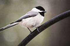 Small finch. A small finch perched on a pole Royalty Free Stock Image