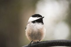 Small finch bird. Portrait of a small finch bird perched on a pole Royalty Free Stock Photos