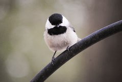 Small finch. A small finch perched on a pole Stock Images
