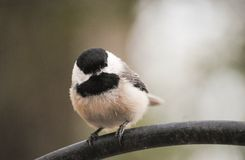 Small finch. A small finch perched on a pole Royalty Free Stock Photography