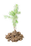 Small fir Stock Images
