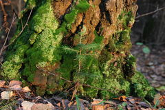Small fir. On a background of mossy trunk of a birch in a wood Royalty Free Stock Image