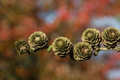Small Fir Cones - Autumn - England Royalty Free Stock Images